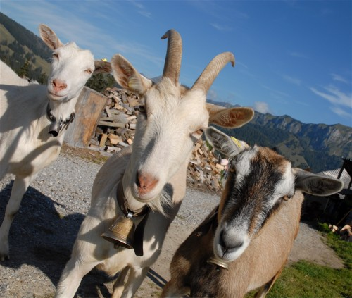 chèvres1.jpg