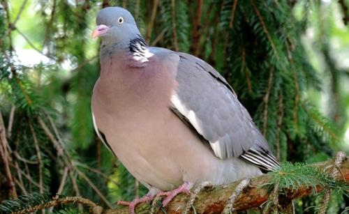 pigeon-ramier-2-104544.jpg
